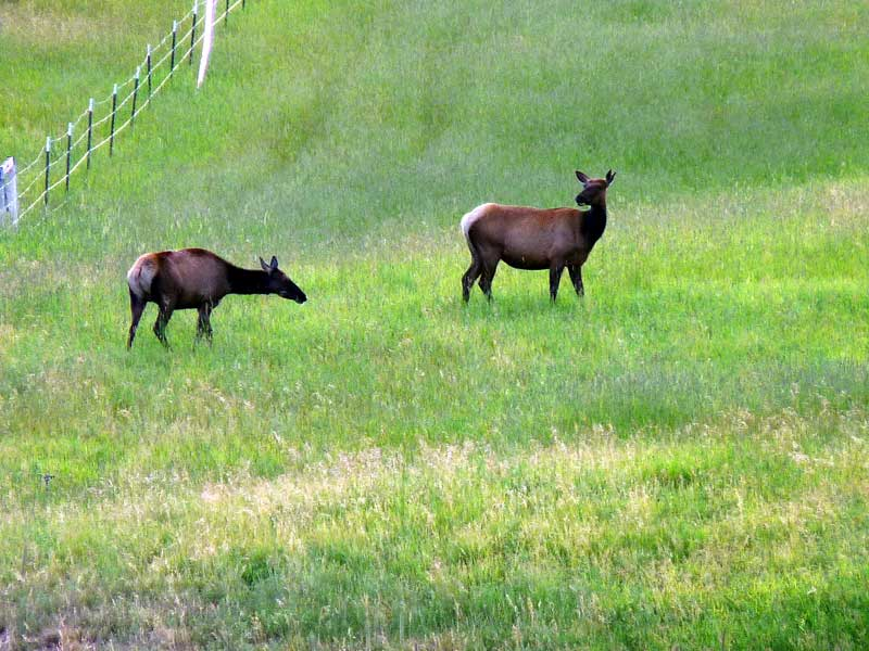 Two female elk